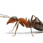 Ant-individual- copy